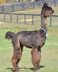 Suri alpaca - Comanche